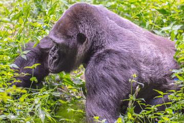Animals of the Zoo - Gorilla