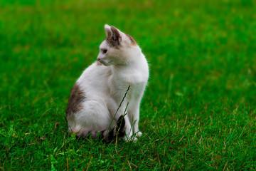 biało-szary łaciaty kot na zielonej trawie