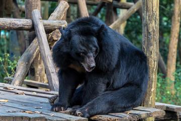 Laos - Luang Prabang - Tat Kuang Si - Bären Rettungsstation (Bear Rescue Centre)