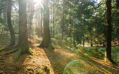 sunrays and glare in the spring pine forest