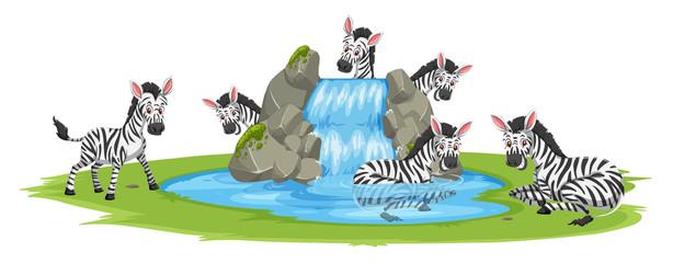 Zebra at the pond
