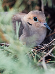 A mother morning dove protects her eggs in the nest