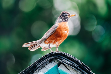 A robin perched in front of a beautiful background Fotoväggar