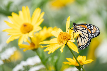 A monarch butterfly climbs on a yellow flower