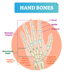 Hand bones vector illustration. Labeled educational arm structure.