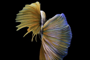 Siamese fighting fish, yellew fish, black background Betta splendens, Betta Fish, Halfmoon Betta.