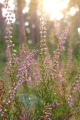 lilac wildflowers in the autumn forest at sunset.wild flowers  background