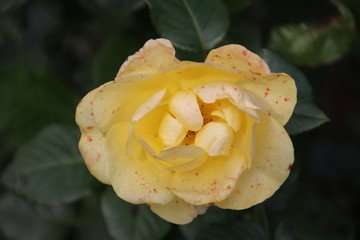 Rose type liesbeth canneman in close-up in the public rosarium of Boskoop in the Netherlands.