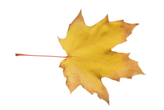 dry yellow maple leaf isolated on white