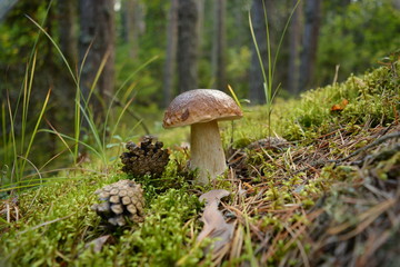 Mushroom boletus stands in moss next to pine cones close-up