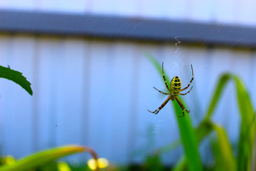 Yellow spider on a gray background