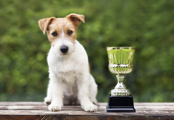 Beautiful young jack russell terrier dog sitting near a winner cup