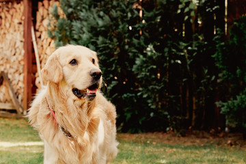 Young golden retriever dog on nature background