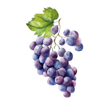 watercolor fruit branch grape