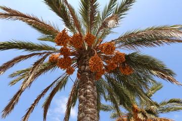 финики растут на финиковой пальме