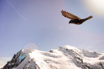 Alpine Chough (Pyrrhocorax graculus) flying against Alps mountains