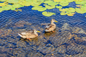 Ducks are swimming in a pond with water lilies