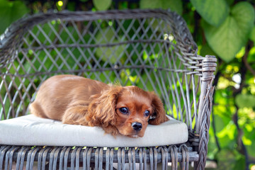 Cute puppy napping on the chair