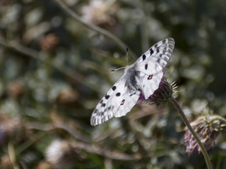 Parnassius apollo butterfly