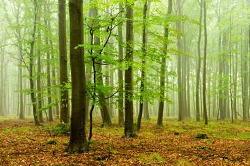 Foggy Beech Tree Forest