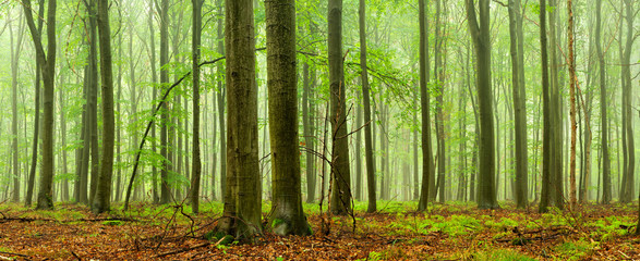 Green Forest of Beech Trees in Rain and Fog