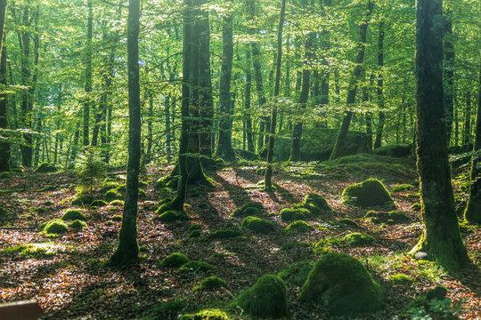 Dimma i en skuggig bokskog