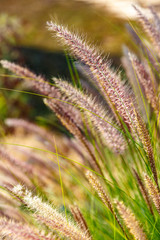 Bush of young eared grass glowing on the sun