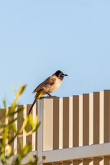 White-spectacled bulbul on a gray metal fence