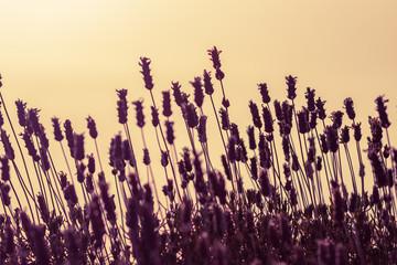 Lavender at golden sunset sky background