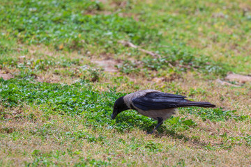 Hooded crow is search eat in a grass