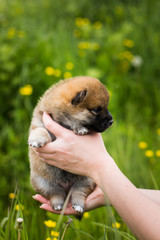 Profile Portrait of cute two weeks old shiba inu puppy in the hands of the owner in the buttercup meadow