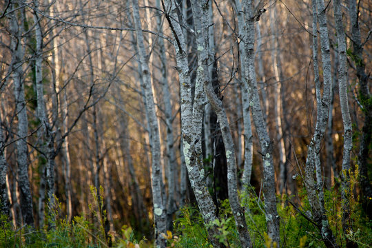 Silver birch forest in a winter sunset with textured bark