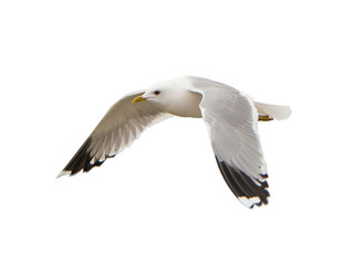 Different types of gulls. A series of photos. Isolated