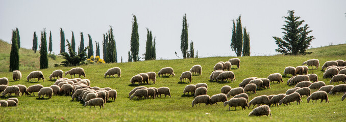 Tuscan sheep