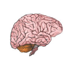 Digital painted brain isolated on a white background. Realistic drawing. The part of the human body.