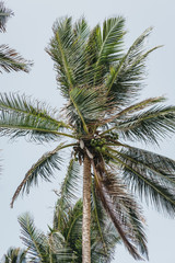 View of the coconut palm trees against blue sky on a bright sunny day.