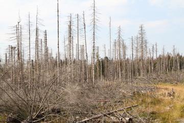 abgestorbener Tannewald im Harz 7
