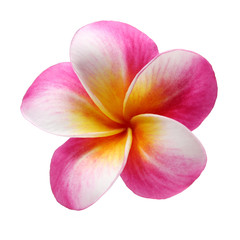plumeria frangipani flower isolated on white background