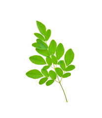 moringa leaves on white background