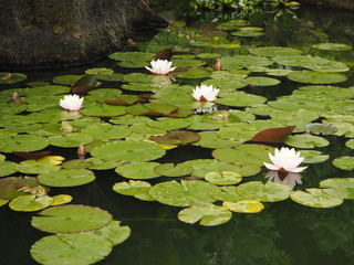 the frog sits on the leaves of a water lily
