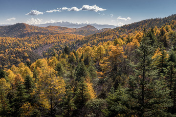 Yellow and green pine forest with snow mountain range background in sunny day in clear blue sky at Shika Snow Mountains, Shangri La, China