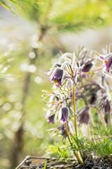 Eastern pasqueflower, prairie crocus, cutleaf anemone with water drops