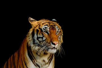 Foto auf Leinwand Tiger Sight of tiger.