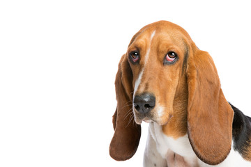 basset hound in front of a white background
