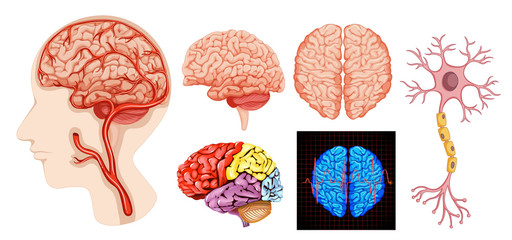 Human brain anatomy technical medical