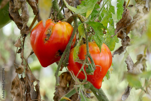 closeup of rotten tomatoes in the garden stock photo and royalty