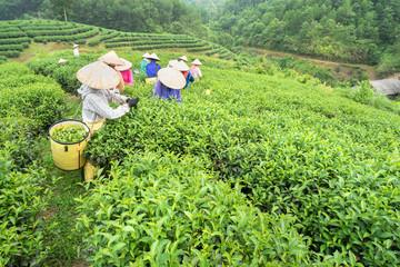 Vietnamese women picking tea leaves at a tea plantation.