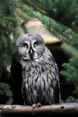 Full body of adult male great grey owl (Strix nebulosa)