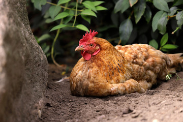Full body of domestic gold hen on the farm