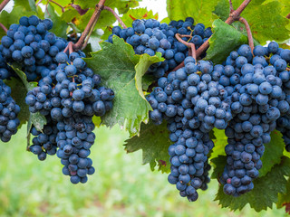 Blaue Weintrauben reif zur Ernte